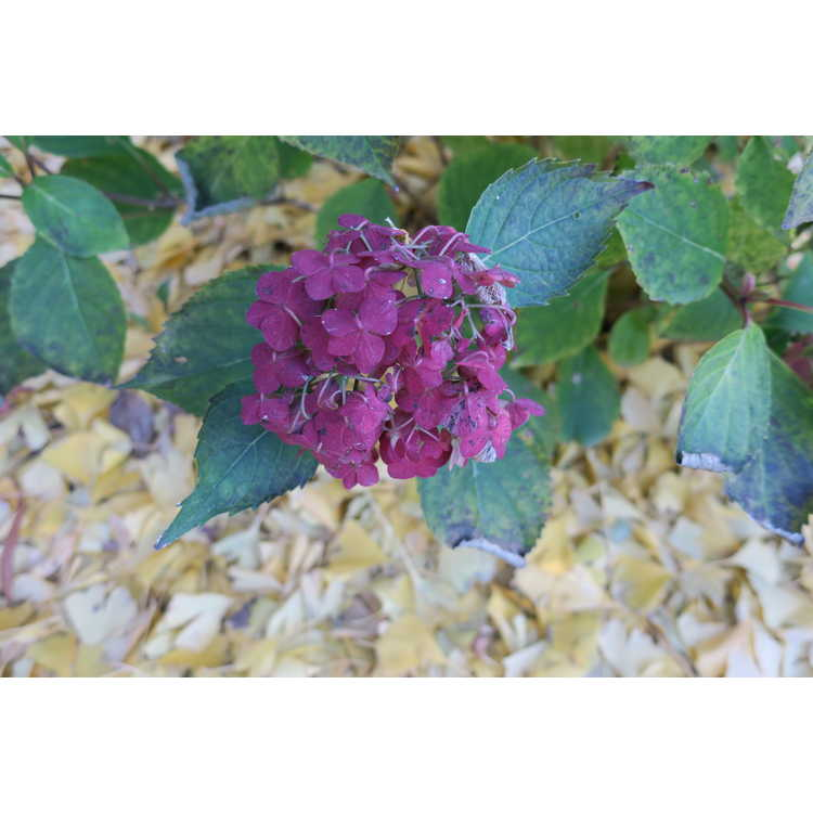 Hydrangea 'After Midnight'