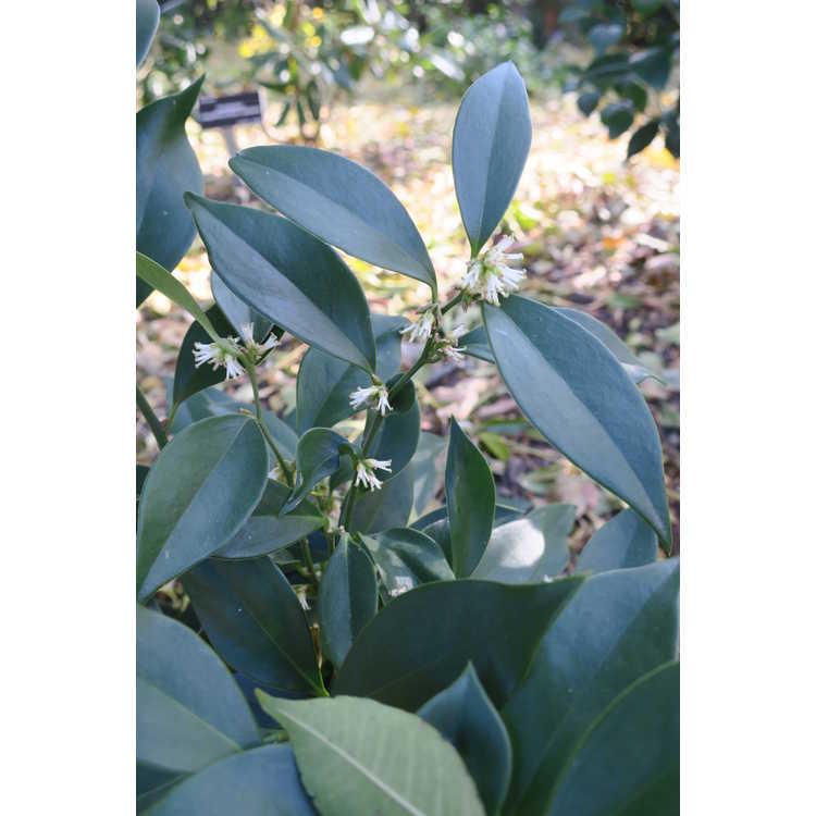 Sarcococca hookeriana var. digyna - Himalayan sweet box