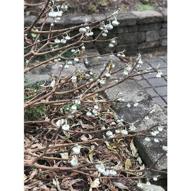 Edgeworthia 'Snow Globe' - hybrid Japanese paperbush