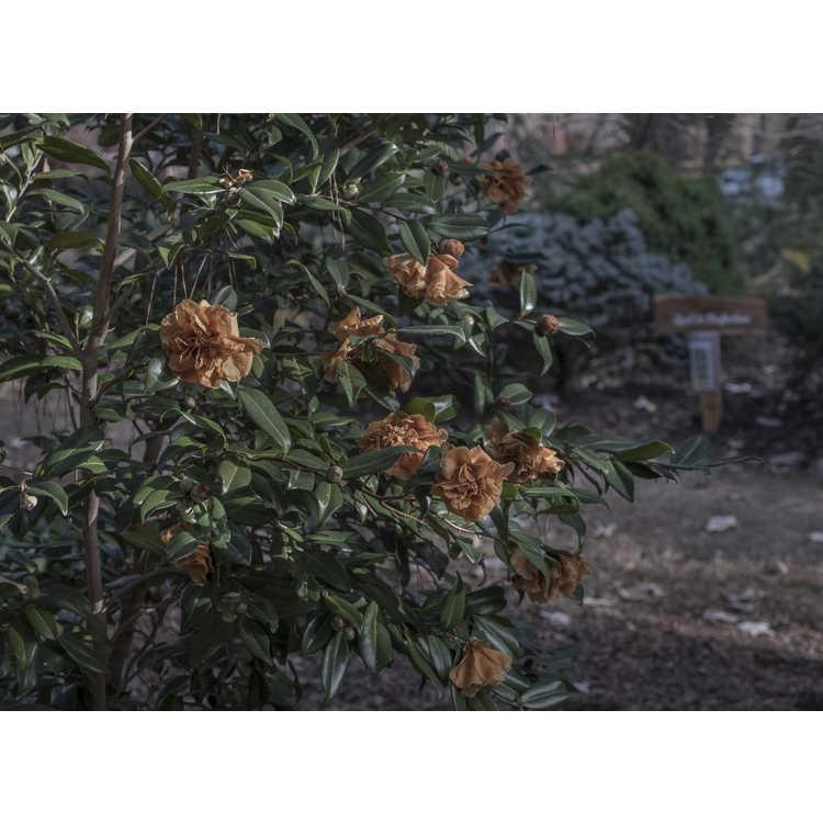 Camellia ×vernalis 'Egao Corkscrew' - contorted vernal camellia