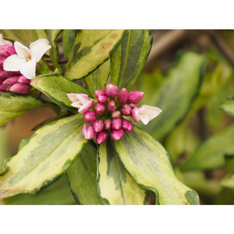 Daphne odora 'Nakafu' - variegated winter daphne