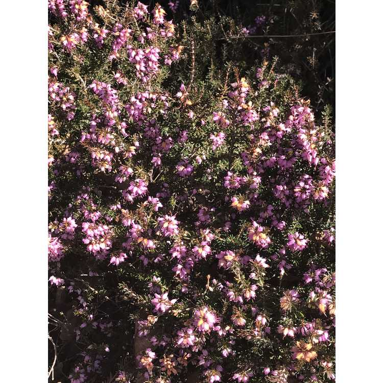 Erica ×darleyensis 'Furzey'