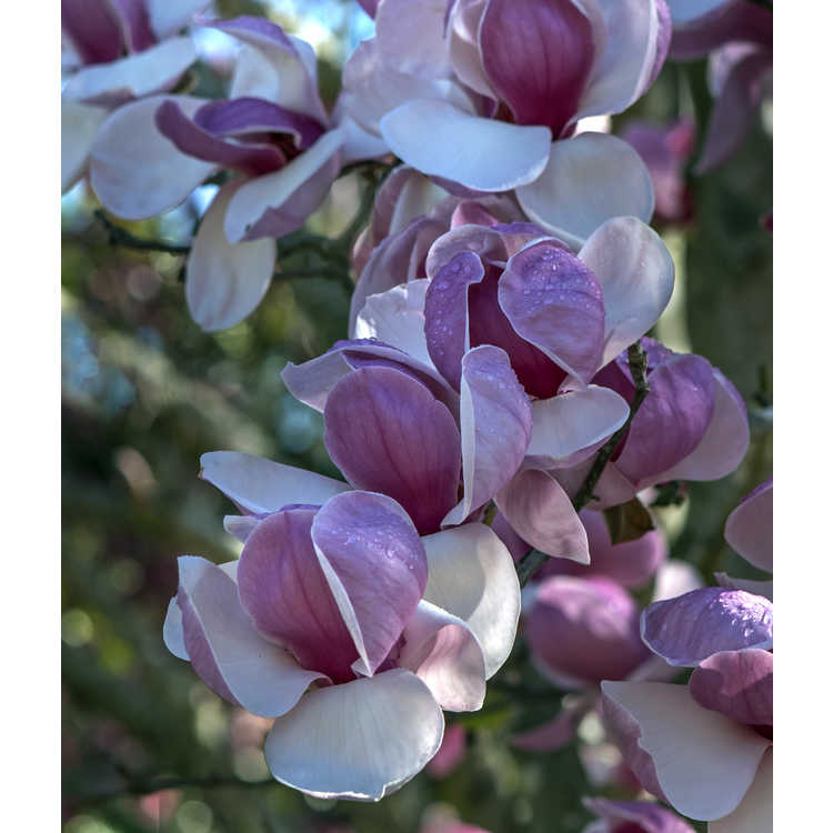 Magnolia soulangeana Opal