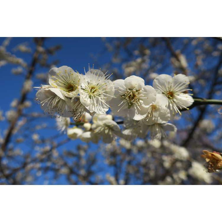Prunus mume Big Joe