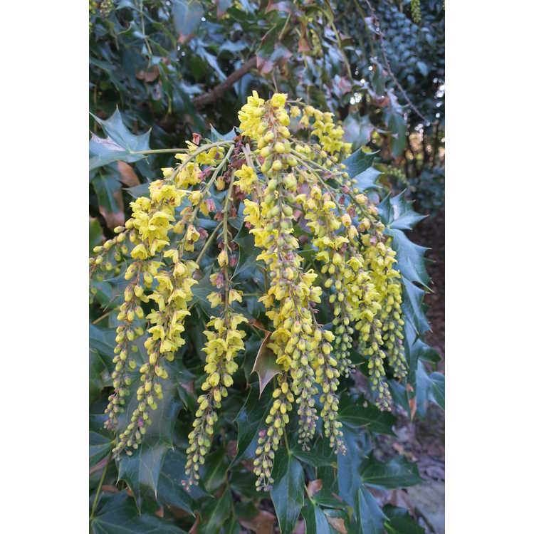 Mahonia napaulensis 'Maharajah'