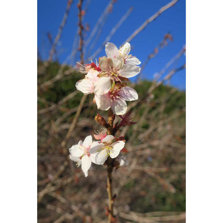 Prunus incisa Shikizaki
