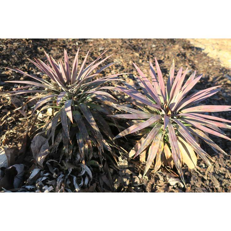 Yucca 'Blue Boy' - blue yucca