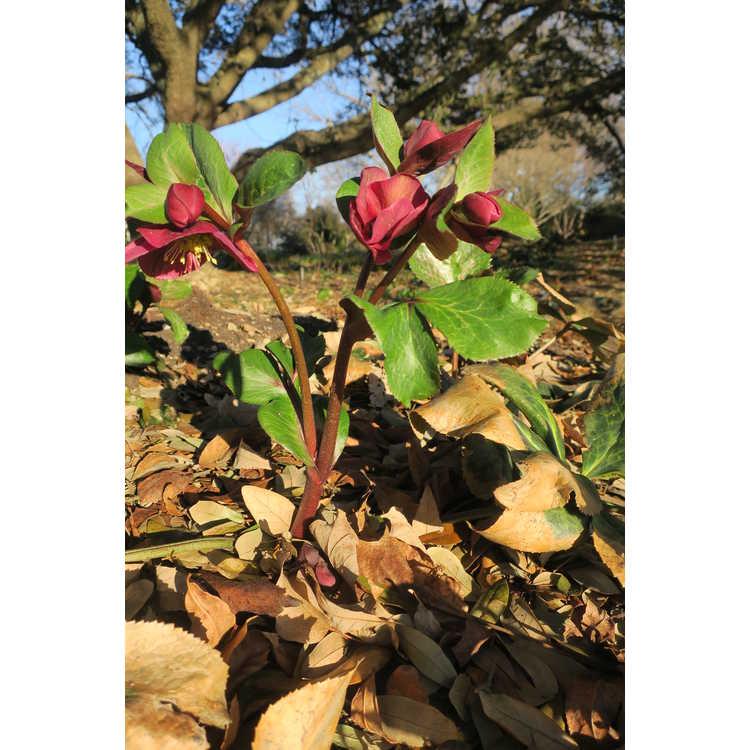 Helleborus 'Abcrd02' - Frostkiss Anna's Red Lenten rose