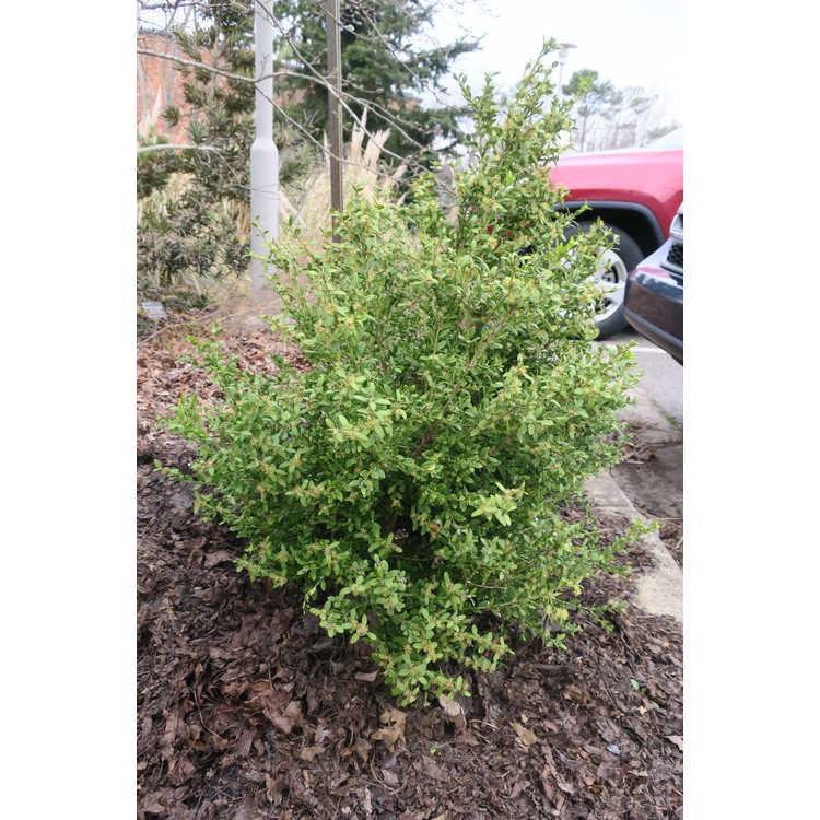 Buxus sempervirens 'Rosmarinifolius'