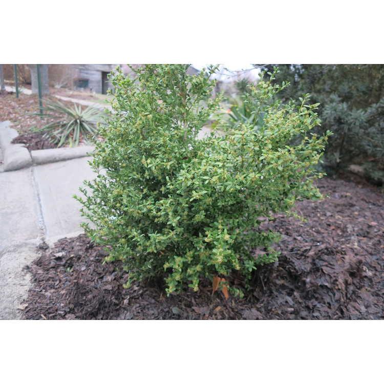 Buxus sempervirens Rosmarinifolius