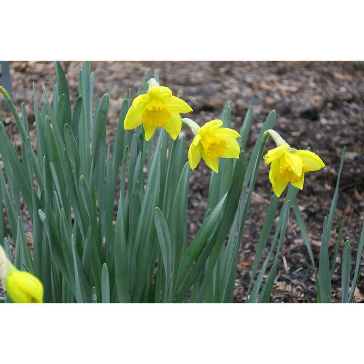 Narcissus Border Chief