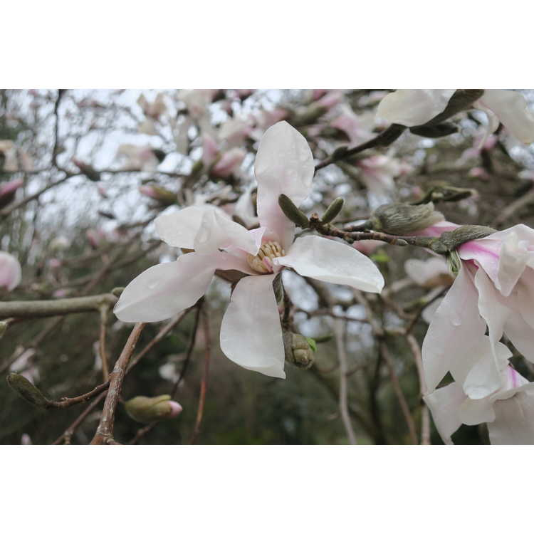 Magnolia ×loebneri 'Neil McEachern'