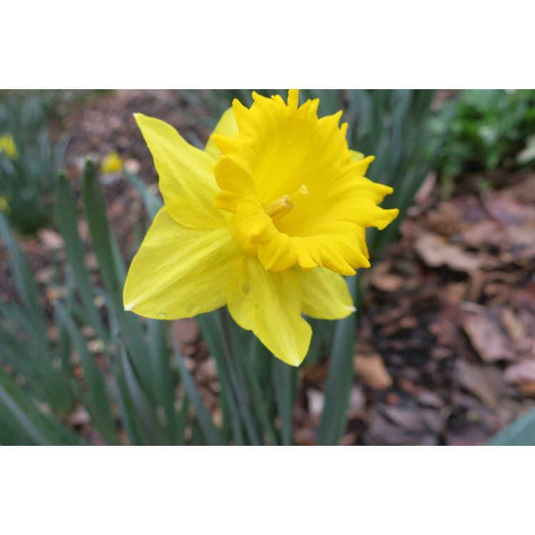 Narcissus 'Cyclops'