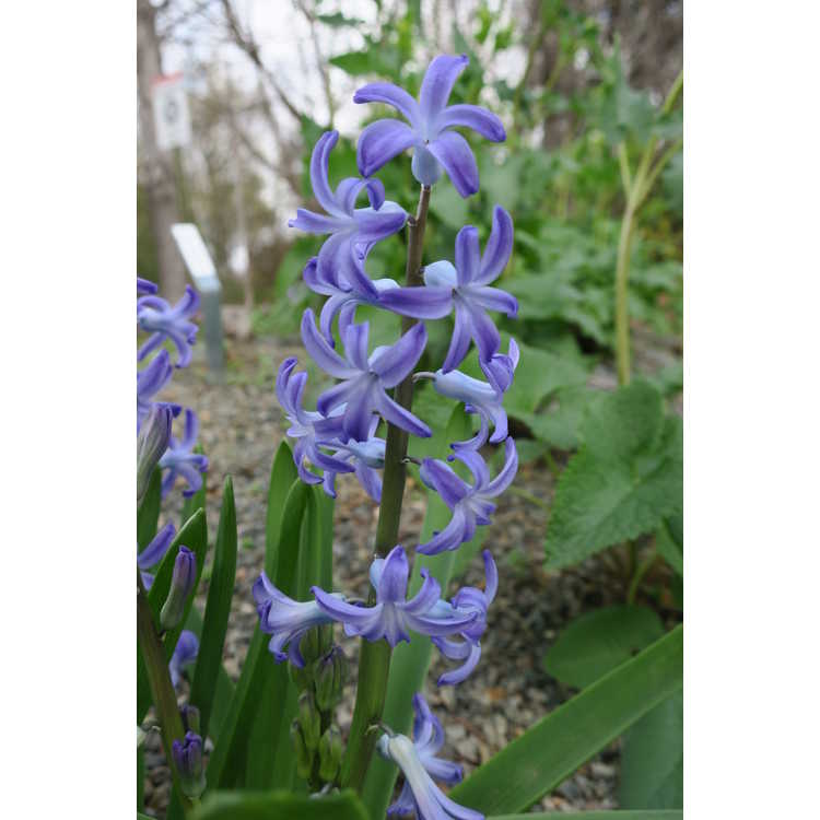 Hyacinthus orientalis 'Blue Festival' - common hyacinth