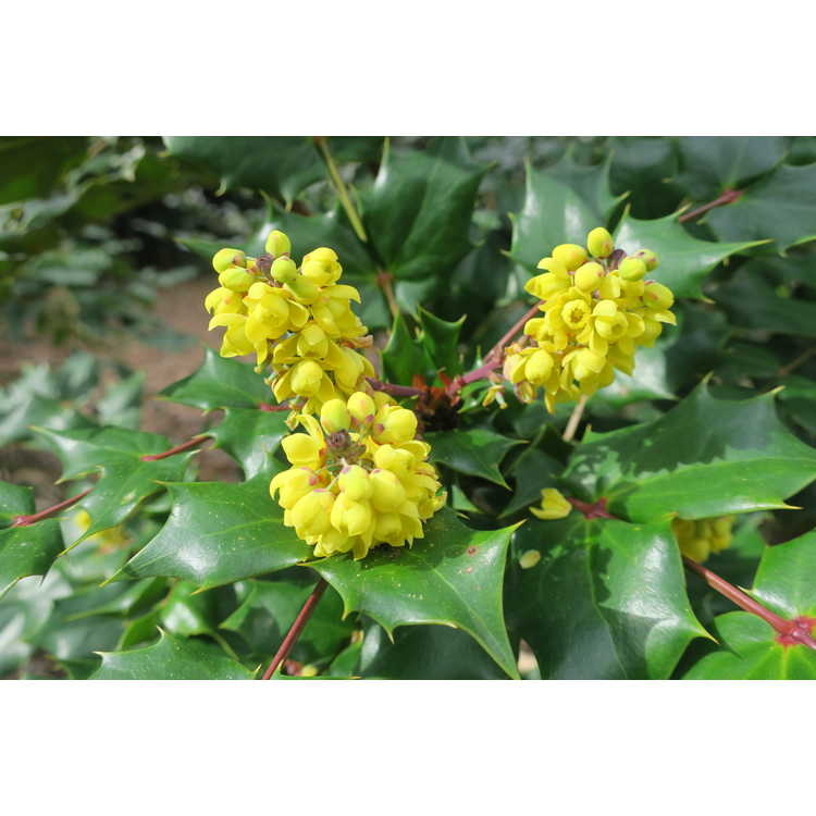 Mahonia tikushiensis - Japanese mahonia