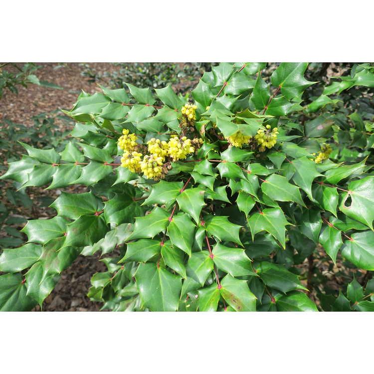 Mahonia tikushiensis