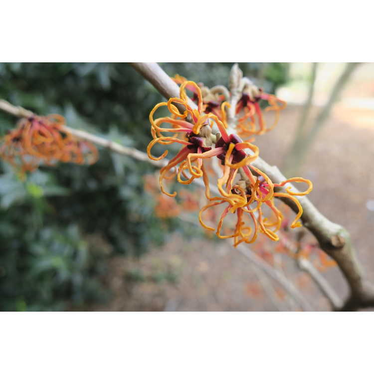 Hamamelis intermedia Gingerbread