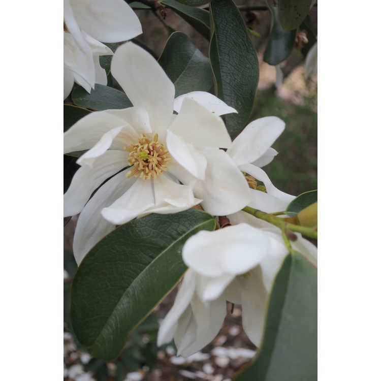 Magnolia 'Eternal Spring' - hybrid magnolia