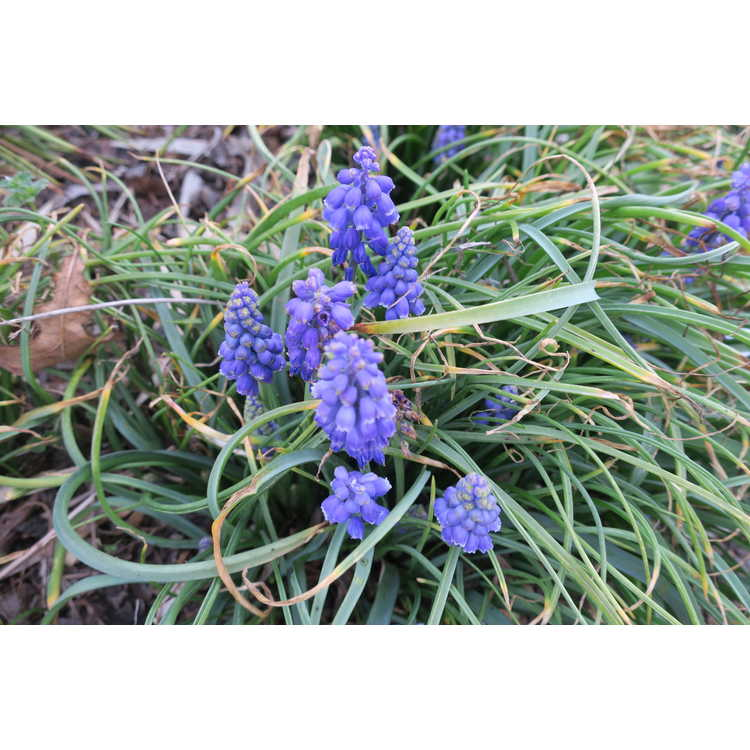 Muscari armeniacum 'Blue Spike'