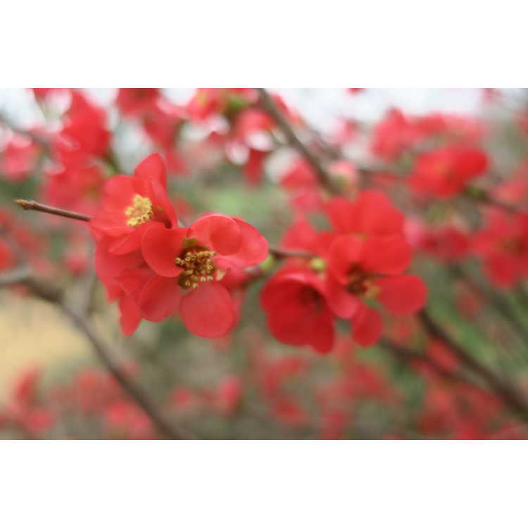 Chaenomeles 'Scarff's Red' - hybrid flowering quince