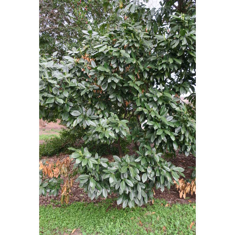 Prunus laurocerasus Majestic Jade