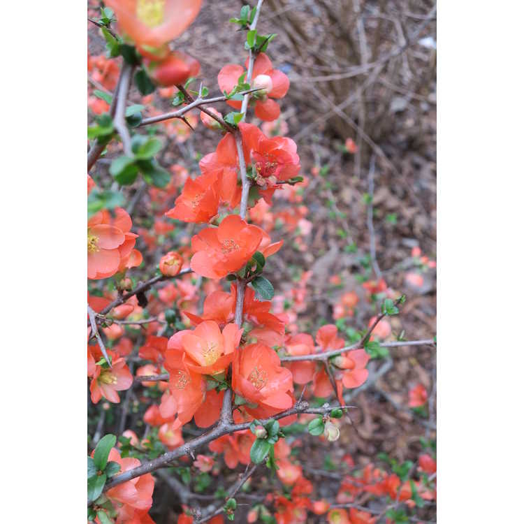 Chaenomeles ×superba 'Mandarin'