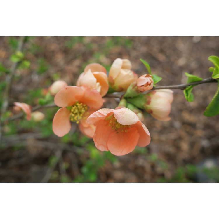 Chaenomeles japonica 'Hime'