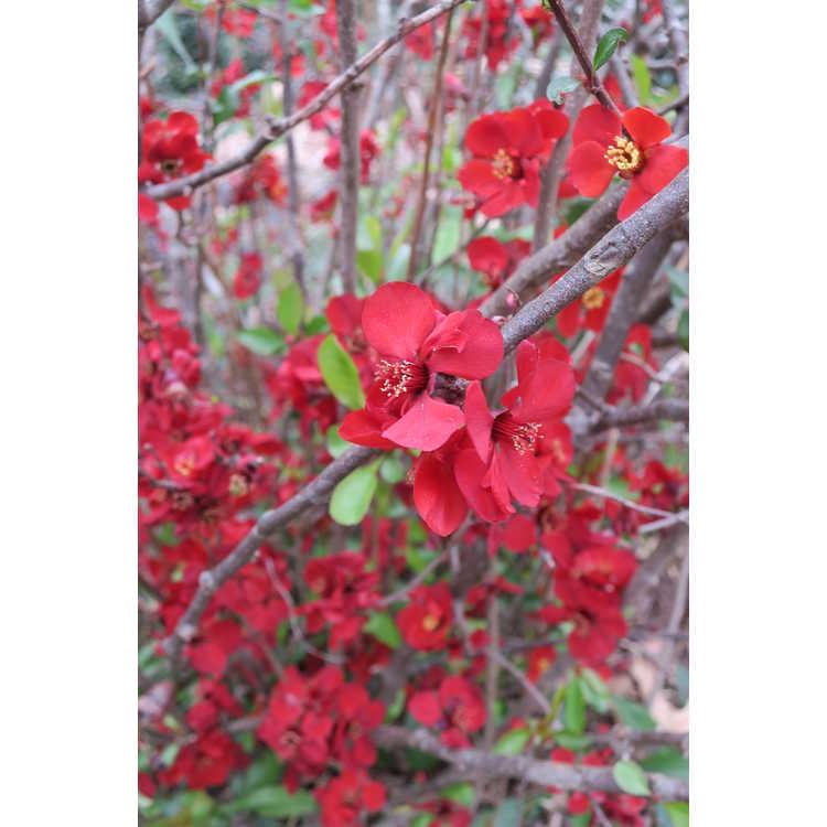 Chaenomeles speciosa 'Mt. Fuji' - flowering quince