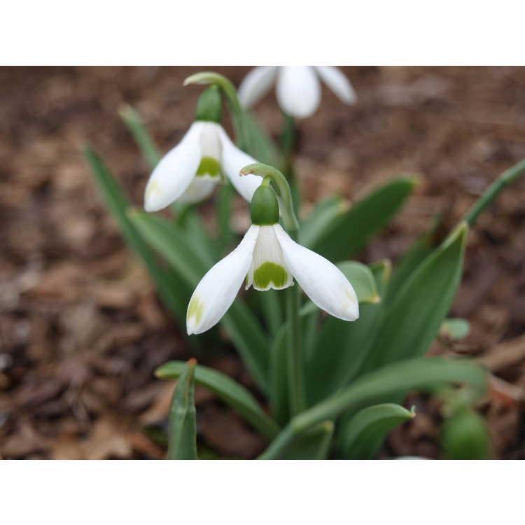 Galanthus elwesii - snowdrop