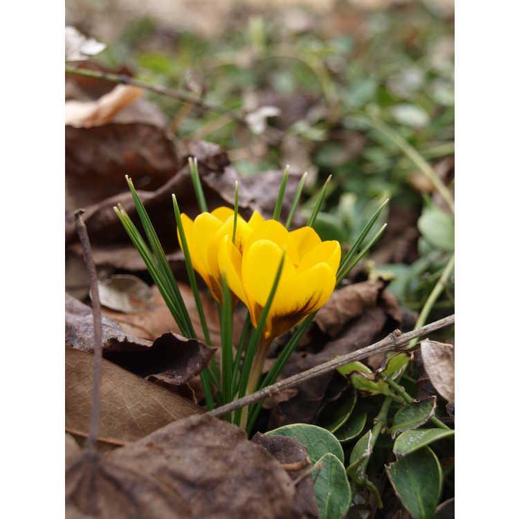 Crocus chrysanthus 'Goldilocks'