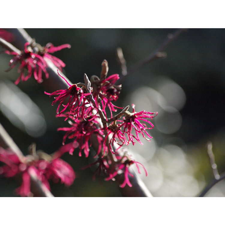 Hamamelis japonica Shibamichi Red