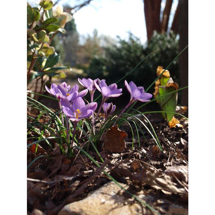 Crocus isauricus 'Spring Beauty'