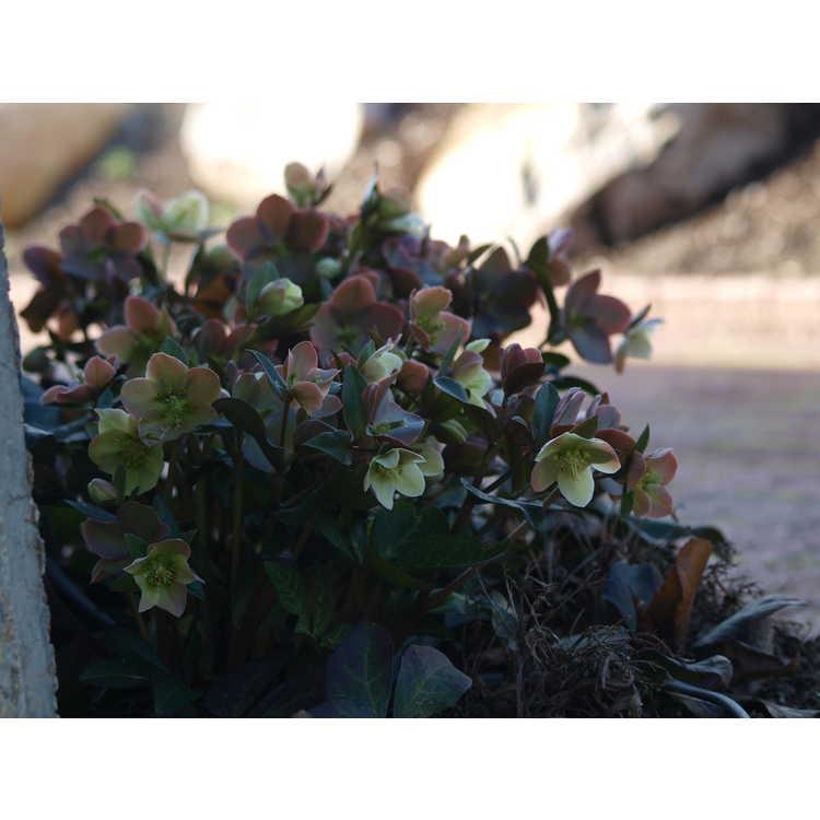 Helleborus ×ballardiae 'Coseh 810'