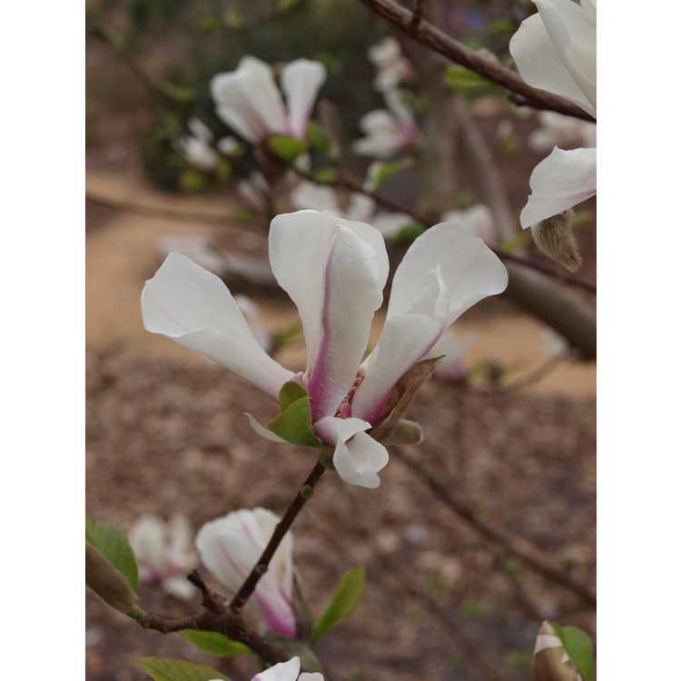 Magnolia kobus fastigiate