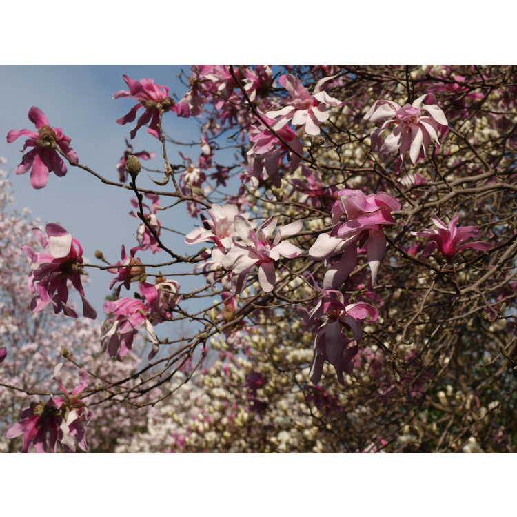 Magnolia ×loebneri 'Leonard Messel' - Loebner magnolia