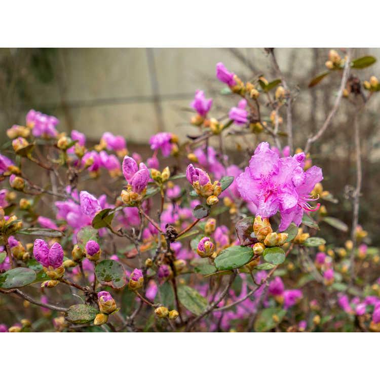 Rhododendron 'Chapmanii Wonder' - hybrid rhododendron