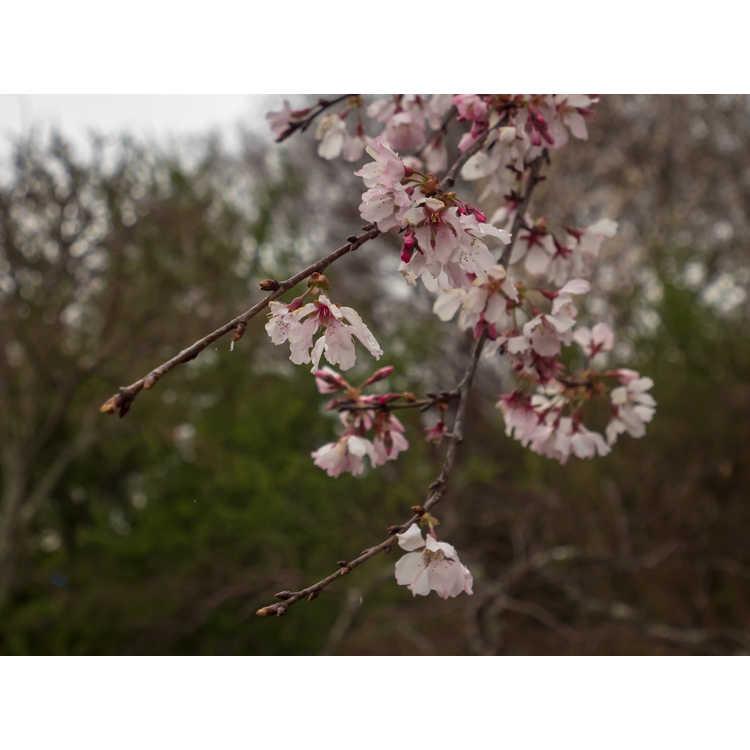 Prunus 'Ncph1'