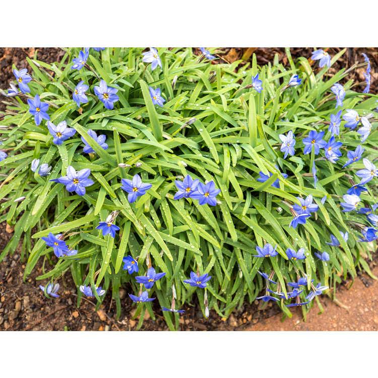 Ipheion uniflorum 'Jessie' - spring starflower