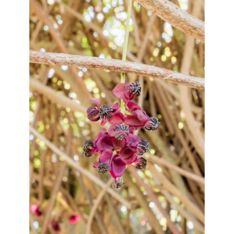 Akebia quinata (silver overlay) - variegated chocolate vine