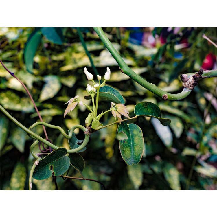 Stauntonia hexaphylla Cartwheel