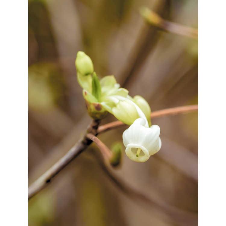 Enkianthus perulatus - white enkianthus