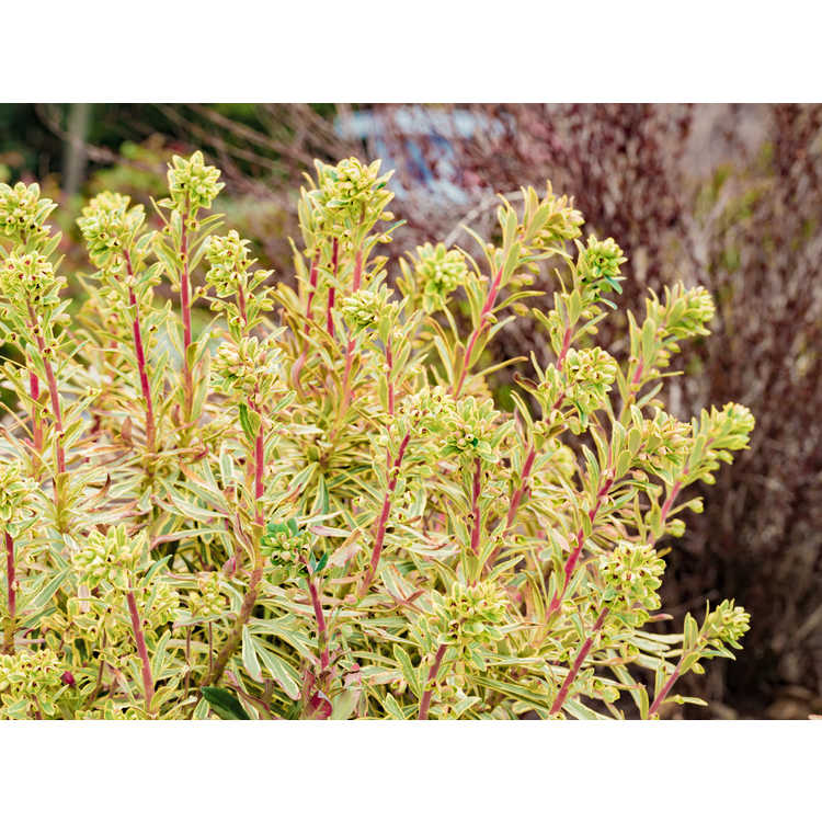 Euphorbia ×martinii 'Ascot Rainbow'