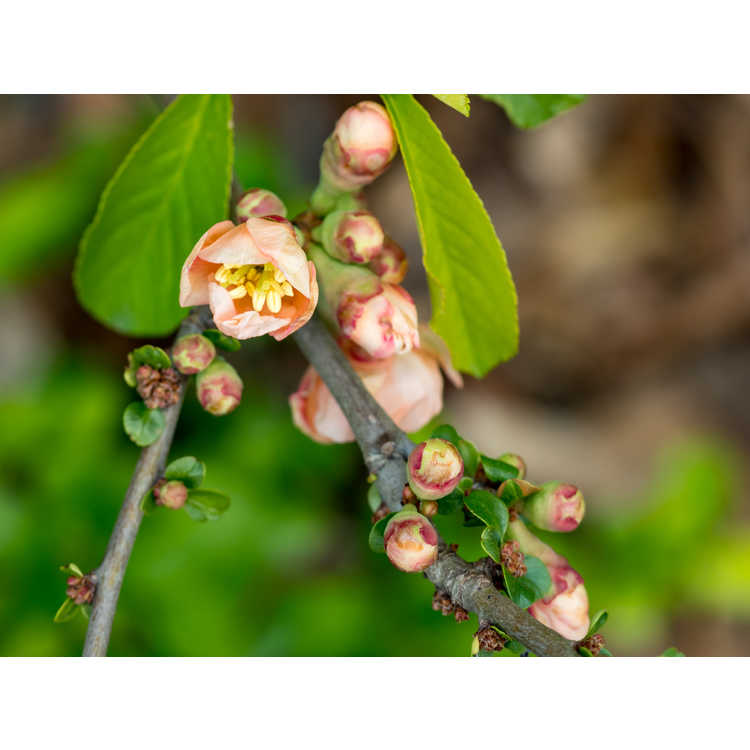 Chaenomeles japonica 'Hime' - Japanese flowering quince