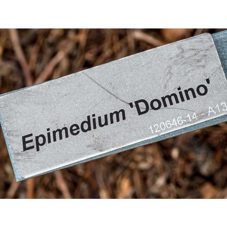 Epimedium 'Domino'