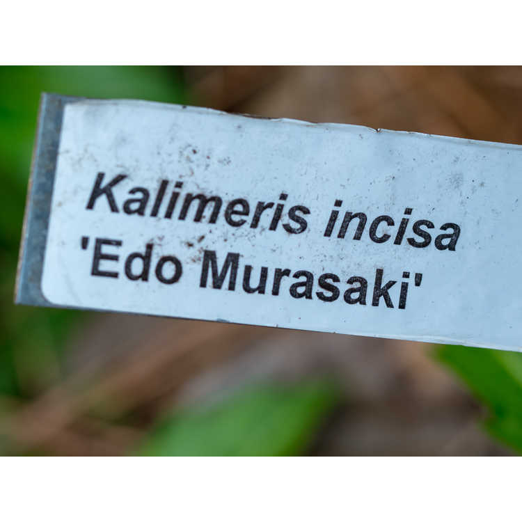 Kalimeris incisa 'Edo Murasaki' - Edo Muraski Japanese aster