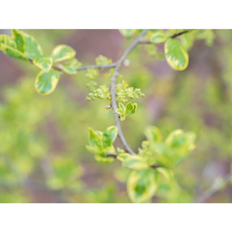 Orixa japonica 'Pearl Frost' - variegated Japanese orixa
