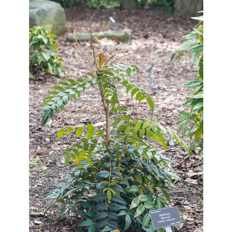 Mahonia 'Marvel' - hybrid mahonia
