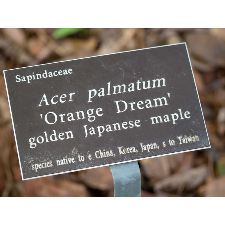 Acer palmatum 'Orange Dream' - golden Japanese maple