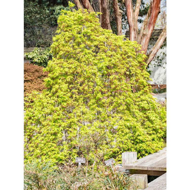 Acer palmatum 'Ryusen' - weeping Japanese maple