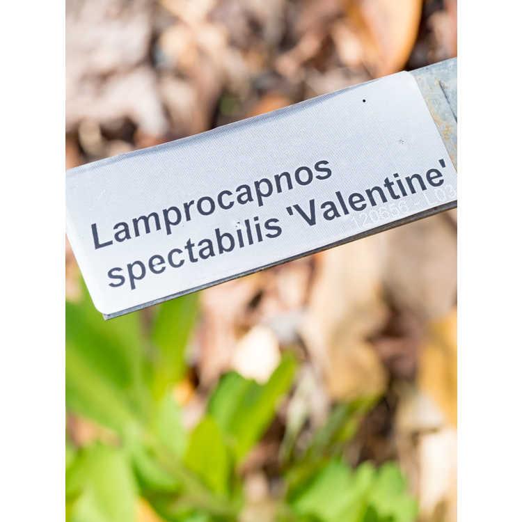 Lamprocapnos spectabilis 'Hordival' - Valentine bleeding heart
